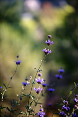 Lavender bush in morning light