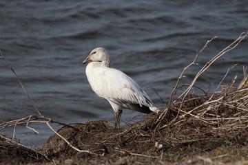 Snow Goose White Phase