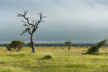 Lone dead tree standing on lush green african savannah