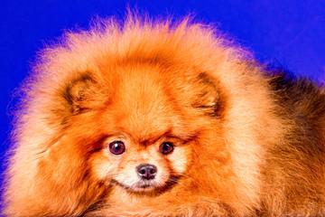 Lovely Pomeranian doggy on blue background.