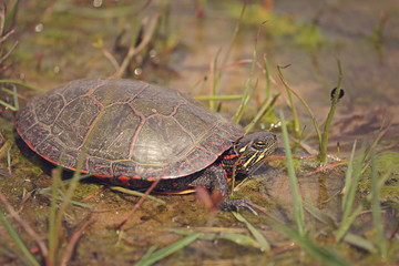 Painted turtle walking into a pond