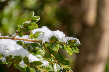 Snow on Spring Leaves