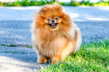 Lovely Pomeranian doggy on background of grass on bright summer day.