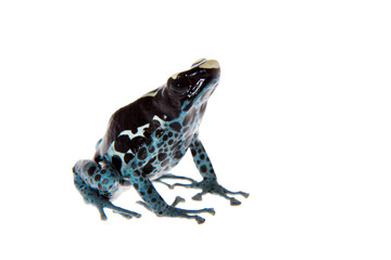Awarape Dyeing Poison dart frog, Dendrobates tinctorius, on white