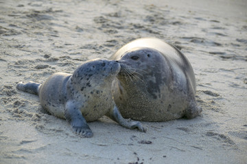 Baby and Mother Seal