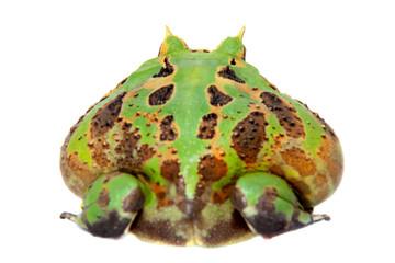 The Brazilian horned frog isolated on white