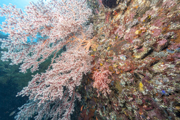Aluminium Prints Under water Coral reef off coast of Bali