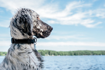English Setter Puppy at the Lake