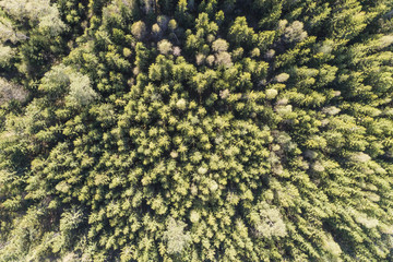 Dense scandinavian pine tree forest from above