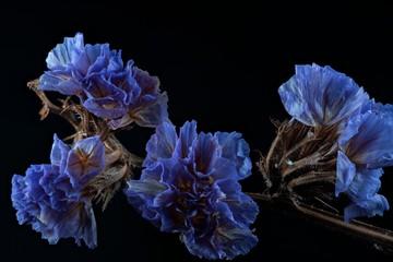 dry flowers (Limonium sinuatum)