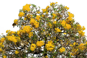 Silver trumpet tree is a beautiful yellow flower. White background isolated.