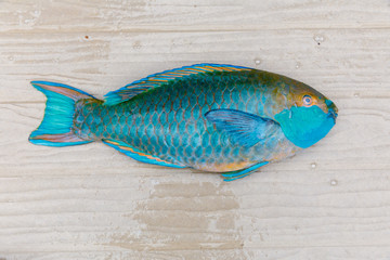 Parrot fish lay on wooden floor. Beautiful colors