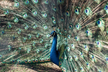 Peacock fanning his feathers