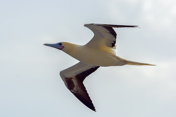 Bottom view of seagull flying against a cloudy sky.