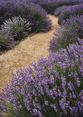 Detail of a path between Lavender plants in a garden. Norfolk, U
