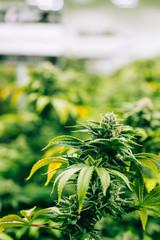 Cannabis Heaven