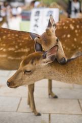 Two cute cuddling  deer.