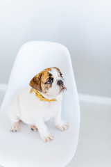 A bulldog on the chair