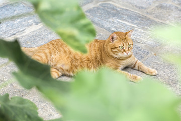 Ginger cat relaxing on stone pavement front yard