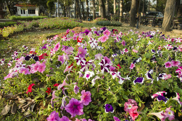 Beautiful Of Pink,Purple and Red Petunia Flowers Blooming  Outdoors.