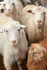 Goatling. The domestic goat (Capra aegagrus hircus). The domestic goat  is a subspecies of goat domesticated from the wild goat of southwest Asia and Eastern Europe.