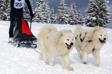 Dog race in snow