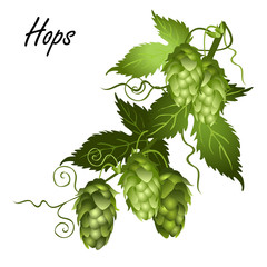 Hop vine (Humulus lupulus) with leaves and seed cones. Realistic vector illustration isolated on white background.