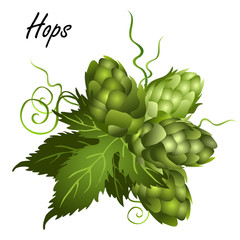 Hop seed cones (Humulus lupulus) on vine with leaves. Realistic vector illustration isolated on white background.