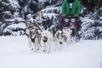 Husky-race