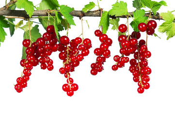 Fresh ripe red currant - isolated on white background.
