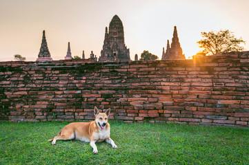 Wall Mural - Dog at Ayutthaya Historical Park, Wat Chaiwatthanaram Buddhist temple in Thailand.