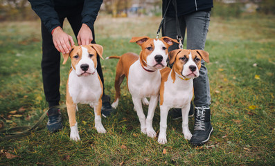 Three puppies of the American Staffordshire terrier are white and brown color from one litter. Cynologist.