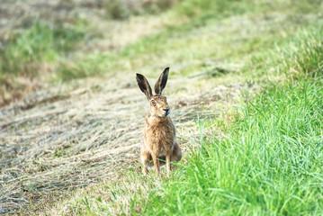 Friendly rabbit free on a field in summer