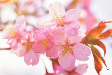 Apple tree pink flowers blossom in spring Vilnius