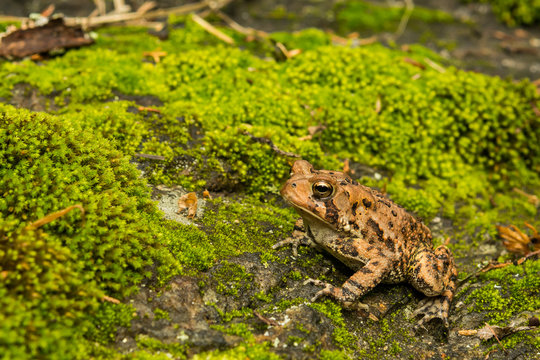 A close up of an American Toad