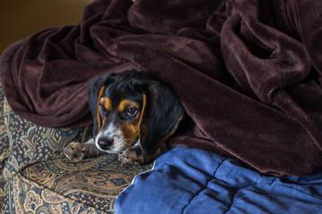 Cute beagle puppy under blankets on a sofa