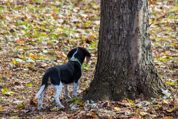 Beagle puppy exploring lawn covered in colorful fallen leaves