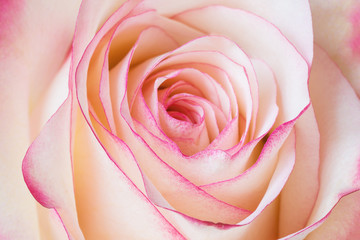 beautiful pink rose macro