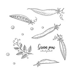 Vector engraved illustration of green peas. Eco organic food. Vegetarian food for design menu, recipes, wrapping paper, street festival, farmers market, cafe, restaurant, decoration kitchen items.