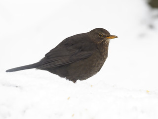 Fotoväggar - Blackbird, Turdus merula
