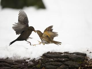 Fotoväggar - Song thrush, Turdus philomelos