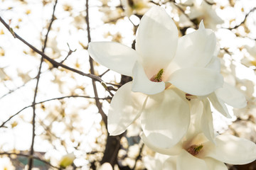 Magnolia beautiful white flower