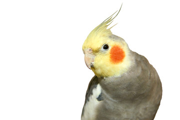 Cockatiel on a white background. The cockatiel, also known as the quarrion, is a bird that is a member of the cockatoo. The cockatiel is the only member of the genus Nymphicus.