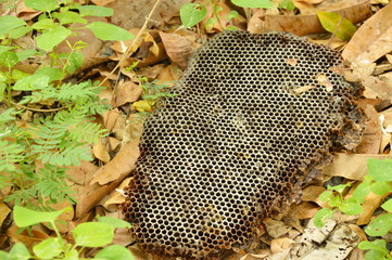 dead bee nest falling on ground in forest
