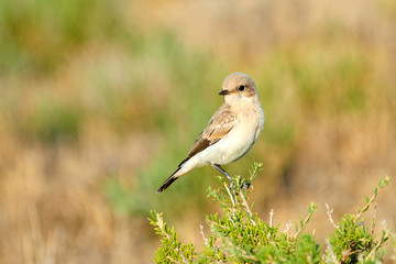 Desert wheatear (Oenanthe deserti). The desert wheatear is a wheatear, a small passerine bird that was formerly classed as a member of the thrush family Turdidae.
