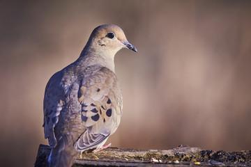 morning dove eating Fotomurales