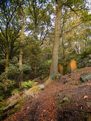 path in an autumn beech forest on a steep hillside with fallen leaves in yorkshire england