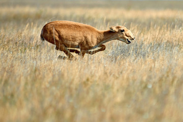 The saiga. The saiga antelope is a critically endangered antelope that originally inhabited a vast area of the Eurasian steppe.