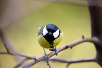 The Great tit (Parus major) sits on a branch of an apple tree. A bird with a yellow belly and a black-and-white head poses in the wild. Horizontal image.