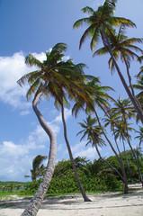 Cocotiers sur le litoral de la Martinique